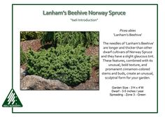 Lanham's Beehive Norway Spruce The late Gary Lanham found this unusual, boldly textured, compact Norway Spruce in 1994 in Kentucky, a witch's broom nearly 10′ up in a mature Picea abies. Intrigued by…