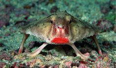 Le poisson chauve-souris aux lèvres rouges des îles Galápagos