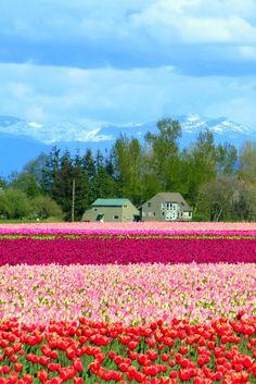Tulip fields at the Skagit Valley Tulip Festival in Washington state