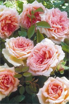 English Rose Janet® 'Auspishus'