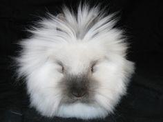 Gidget lionhead bunny