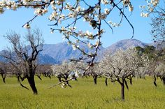 Mallorca Almond Blossom
