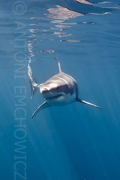 Great White Shark, they look so scary!