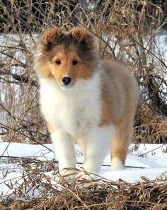 Laureate Shelties #puppy #adorable