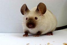 Un ratón como mascota, qué debo saber.