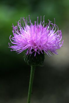 Thistle. It sure is pretty for such a horrible weed.