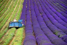 There ar few things as lovely and scenic (and as fragrant) as a field choked with lavender fully bloom. Even once they're being harvested, the organized rows of flowers and also the farmers' organized work strike a pretty distinction.Image credits:Andrew MatthewsImage credits: Milen Dobre