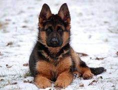 German Shepherd Pup ~ Classic Look Beautiful Dogs, Animals Beautiful, Cute Animals, Cute Puppies, Cute Dogs, Dogs And Puppies, Doggies, German Shepherd Puppies, German Shepherds