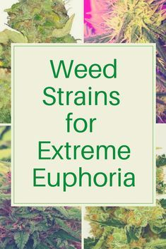 Cannabis strains that will cause extreme euphoria! Cannabis seeds, grow cannabis, CBD oil strains that will cause extreme euphoria! Medical Cannabis, Cannabis Oil, Cannabis Edibles, Ganja, Marijuana Recipes, Weed Strains, Thing 1, Cbd Hemp Oil, Marijuana Plants
