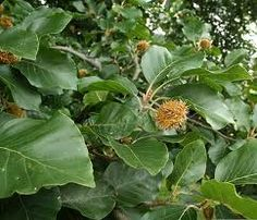"""Beech trees are common in Europe, Asia, and North America and the name """"beech"""" is actually describing the genus Fagus, which comprises Beech Tree Leaves, Plant Leaves, Types Of Humans, Permaculture, North America, Herbalism, Seeds, Fruit, Garden"""