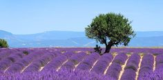 The plateau of Valensole in Provence - stock photo Prado, Life And Health Insurance, Technology Management, Project Management, Mba Degree, Beaux Villages, Reputation Management, Beauty Products, Types Of Photography