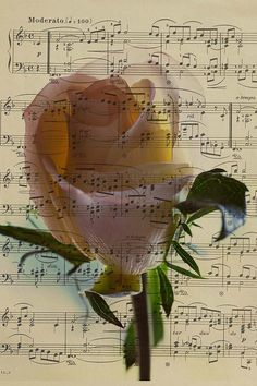 White Rose and music score, composite 5X7 natural card, black pinstripe