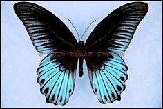 Papilio Memnon Coeruleus -Male -Banyak Islands, Indonesia -(4.5 in wingspan)
