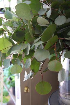 Eucalyptus polyanthemos ʈɦҽ ƥᎧɲɖ ❤ﻸ•·˙❤•·˙ﻸ❤   ᘡℓvᘠ □☆□ ❉ღ // ✧彡●⊱❊⊰✦❁❀ ‿ ❀ ·✳︎· ☘‿WE JUN 28 2017‿☘✨ ✤ ॐ ♕ ♚ εїз⚜✧❦♥⭐♢❃ ♦♡ ❊☘нανє α ηι¢є ∂αу ☘❊ ღ 彡✦ ❁ ༺✿༻✨ ♥ ♫ ~*~ ♆❤ ☾♪♕✫ ❁ ✦●↠ ஜℓvஜ .❤ﻸ•·˙❤•·˙ﻸ❤