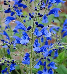 Buy Salvia sagittata x 'Blue Butterflies' from Sarah Raven: A tender perennial arrow-leaved sage with cobalt blue flowers from late summer to the first frosts.
