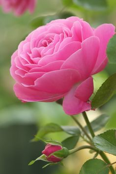 Captivating Why Rose Gardening Is So Addictive Ideas. Stupefying Why Rose Gardening Is So Addictive Ideas. Most Beautiful Flowers, All Flowers, My Flower, Pretty Flowers, Simply Beautiful, Rosa Rose, Tea Roses, Flower Pictures, Planting Flowers