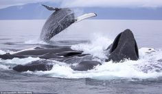 Band of brothers: Humpback whales work in unison with 'bubble-net fishing' to corral a meal off Alaskan coast