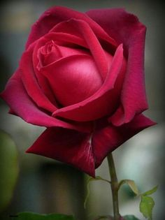 red, rose, and in nature image Flora Flowers, Types Of Flowers, Flowers Nature, Fresh Flowers, Pretty Flowers, My Flower, Flower Vases, Flower Art, Flower Power