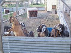 goats need very good fences both to keep them in and to keep dogs out #goatvet