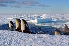 Photo:Jason Roberts. It's a rare moment to capture: whales taking a breather as they swim under polar ice.