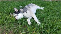 East coast huskies have snow, West coast have grass!