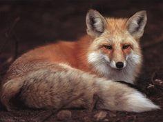 Photo  6  :  renard  :  magnifique animal