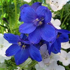 Delphinium belladonna 'Bellamosum' - truly a case of plant lust since the snails like delphinium even more than I do.  Annie's Annuals
