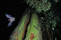 The remarkable world of bats Mammals, Bat Wings, Bats, World, Sleep, Fur, The World, Feather, Fur Coat