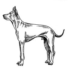 The Thai Ridgeback Dog Breed is the official Royal Dog of Thailand.