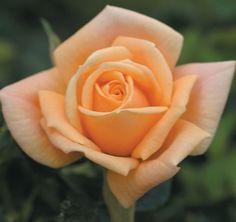 """Apricot Twist Miniature Rose - Disease Resistant - 4"""""""" Pot - Fragrant Flowers"""