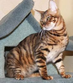The Toyger is medium size domestic shorthaired cat which was developed to resemble the big wild cats. It was created as a result of crossing between the Bengal and a short-haired domestic cat to produce a striped cat that resembles a tiny tiger.