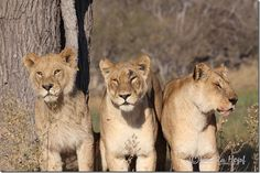 Lions in Botswana's Moremi Game Reserve
