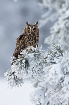 Stunning Picz: Long Eared Owl