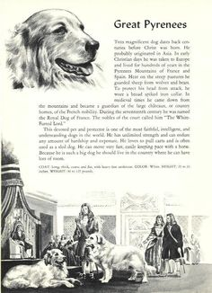 Great Pyrenees - Vintage Dog Art Print - 1954 Winter in Great Pyrenees Pyrenees Puppies, Great Pyrenees Dog, Dogs And Puppies, Doggies, Big Dogs, I Love Dogs, Vintage Dog, Crazy Dog, White Dogs