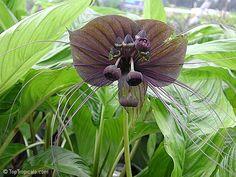 bat orchid plants and flowers | Tacca chantrieri, Bat Head Lily, Bat Flower, Devil Flower, Black ...