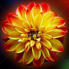 by Dipali S - Flowers Single Flower ( plant, bouquet, bright, beauty, vibrant…