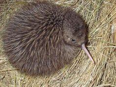 Okarito brown kiwi. Chick. Motuara Island, Marlborough. Image © Department of Conservation ( image ref: 10059700 )  by Chrissy Wicks Department of Conservation  Courtesy of Department of Conservation