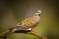 Listen to Turtle Dove on british-birdsongs. Dove Pigeon, Turtle Dove, Kinds Of Birds, Animals Beautiful, Photo And Video, Spain, Photos, News, Taxidermy