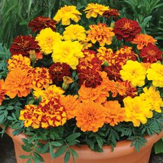 Marigold 'Zenith Mixed' F1 Hybrid (Garden-Ready) - Annual Plants - Thompson & Morgan H&S 35cm
