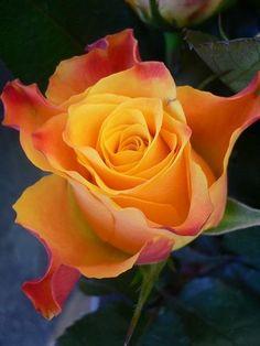 flowersgardenlove:  Marieclare rose Beautiful