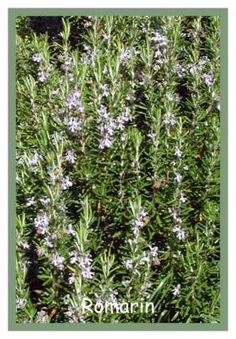 Le Romarin,plante aromatique Toutes les plantes aromatiques
