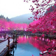 Lighted Cherry Blossom Lake, Sakura, Japan.
