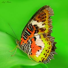 ~~Lacewing Butterfly by ariflickrs~~