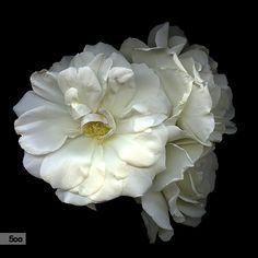 Magda Indigo在 500px 上的照片WHITE COMPANY… SPRAY-ROSES