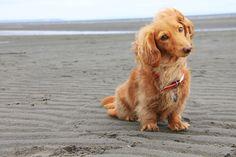 dachshund on a beach