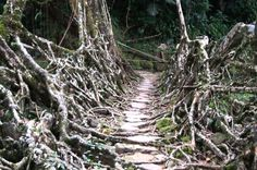 Inhabitat.com: living bridges in Meghalaya India.  I've wanted to see these since I heard of them!