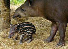 Tapirus terrestris - Google 検索