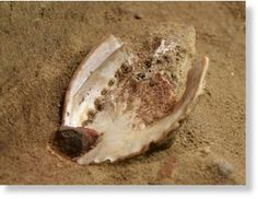 """""""A coating of bright red powder on the insides of a pair of 100,000-year-old abalone shells is evidence of the oldest known art workshop, a new study says.     The powder was found inside two shells in Blombos Cave near Still Bay, South Africa (map). The substance is the dried remains of a primitive form of paint made by combining colorful clay called ochre, crushed seal bones, charcoal, quartzite chips, and a liquid, such as water. """""""