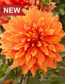 """Mrs Eileen Dahlia  Height: 36-48""""  Bulb Size: No. 1  Deer Resistant: Yes  Perennializing: Yes  Grow In Containers: Yes  Cutflower: Yes  Hardiness Zone: 8 - 10  Suitable Zone: 4 - 10  Planting Time: Spring  Planting Depths: 1-2""""  Planting Spacing: 18-24"""""""