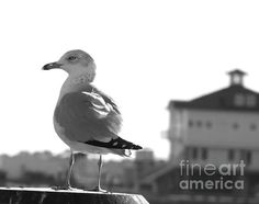Seagull Black White by Andrea Anderegg  #seagull #blackwhite #photography #bird #beach #art